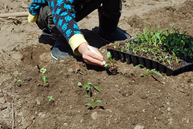 lettuce-plant1