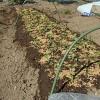 葉物野菜の苗の植え付け!幼苗なので、乾燥対策をします