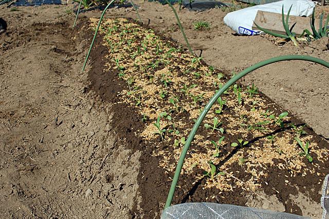 lettuce-plant2