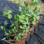春蒔きスナップエンドウ苗の植え付け!本葉3~5枚で定植です
