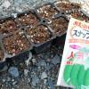 スナップエンドウのポット種蒔き!室内管理で鳥害を防ぎます