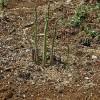 3年目のアスパラガス収穫!気付けば、3株まで増殖中です