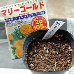 ナス科、ウリ科のコンパニオンプランツ種まき!マリーゴールド、大葉、バジルを育苗です