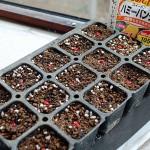 第一弾トウモロコシのポット種蒔き!ヘソを挿して完了です
