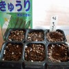 キュウリ「改良ときわ」の催芽蒔き!たった1日で発根です