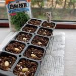 枝豆の催芽蒔きにチャレンジ!腐らずに発根です