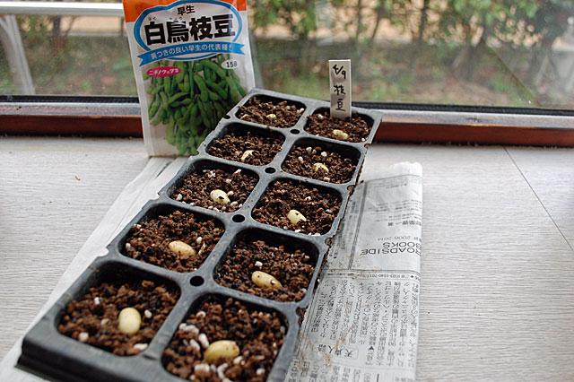 edamame-seeding1