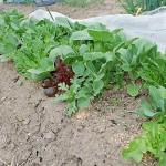 葉物野菜の収穫!種まきから2ヵ月での間引き収穫です