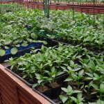 HCの野菜苗たちの誘惑…GWまではじっと我慢です!