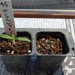 調理用トマト・サンマルツァーノの発芽!ゆっくり生長しています!