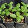 バジルの植え付け!トマトのベストコンパニオンプランツです