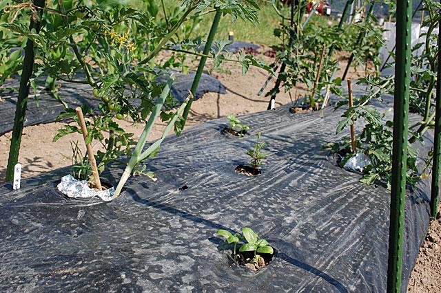 basil-plant2