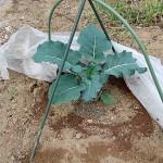 初夏採りブロッコリーの追肥!コンパニオンプランツも移植します