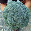 ブロッコリー「緑嶺」の収穫!直径20cm弱のビッグサイズです