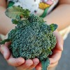 茎ブロッコリー「スティックセニョール」の頂花蕾を収穫!側花蕾の成長を促します