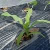 第一弾トウモロコシの追肥!本葉5~6枚頃から肥料切れに注意します