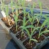 第一弾トウモロコシ苗の植え付け!防風対策にネットを張りましたが…