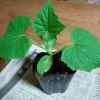 第一弾キュウリの植え付け!自家製苗と市販苗の生長を比較してみます