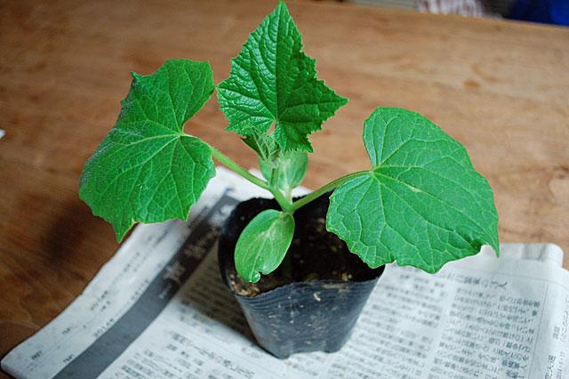 cucumber-plant1