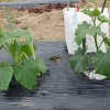 キュウリの仕立てと第二弾の植え付け!7節目までのわき芽を掻きます