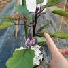 ナスのわき芽掻き!『3本仕立ての連続摘心』で栽培します