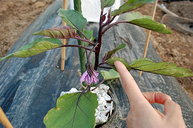 eggplant-grow-way