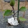 ナスの植え付け!自根苗と接木苗の生長を比較してみます