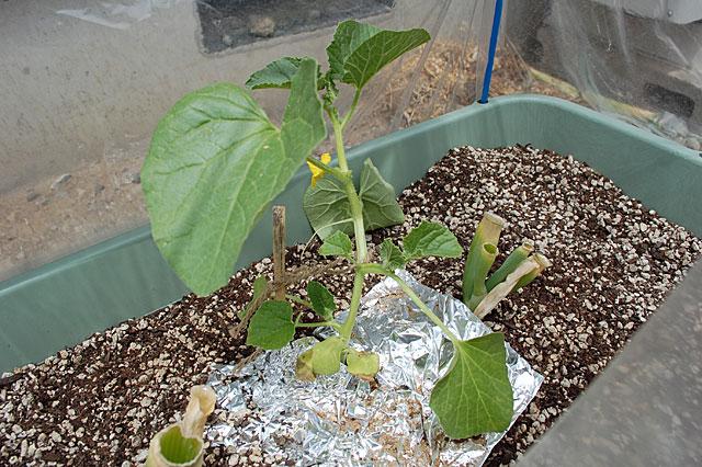 korotan-plant
