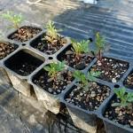 コンパニオンプランツ用マリーゴールドの植え付け!センチュウ予防を期待します