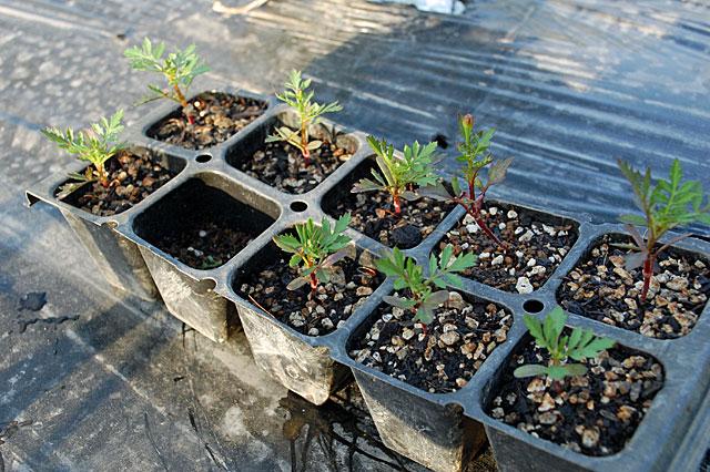 marigold-plant