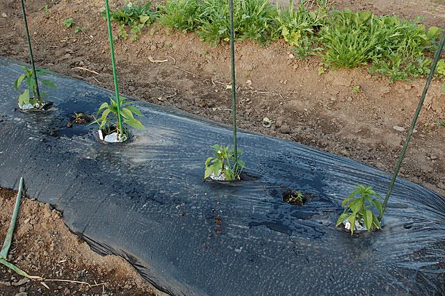marigold-plant3