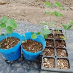 枝豆の植え付け!まずは第一弾トウモロコシのコンパニオンプランツ用です