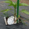 ピーマン類の植え付け!品種も色々、4株で辛さも甘さも楽しみます