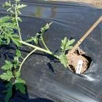2015年今年のトマト栽培は5種類!カラフル収穫を目指します