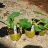 ズッキーニの植え付け!緑品種と黄品種で着果率を上げます