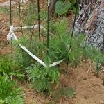 アスパラガスの2回目の追肥!秋の収穫に向けて一休みです