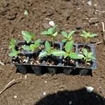 モロヘイヤ苗の植え付け!ネバネバ葉物で夏を乗り切ります