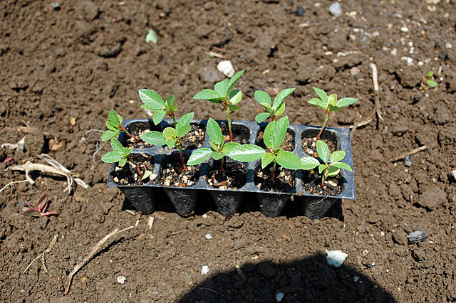 nalta-jute-plant