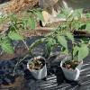 調理用トマト・サンマルツァーノの植え付け!育苗2ヵ月の自家製苗です