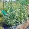 春蒔きスナップエンドウの片付け!葉茎が枯れてからネットを外します