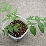 ダイソーのタラノキ種根の苗の植え付け!日当たり抜群な庭先に決定です