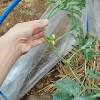 大玉スイカの整枝と一番花の摘花!子づる三本の二番花の収穫を目指します