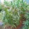 第一弾トウモロコシの最後の追肥とネット張り!鳥獣害対策に万全を期します!