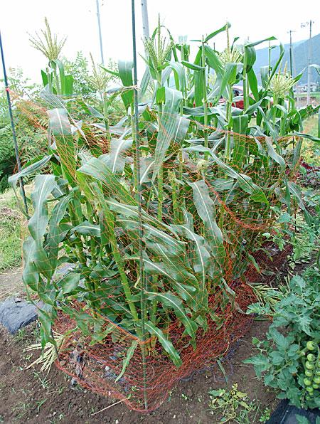 corn-net